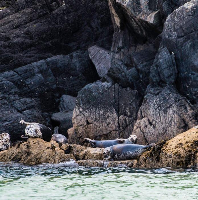 4 seals playing on the rocks in Cardigan Bay