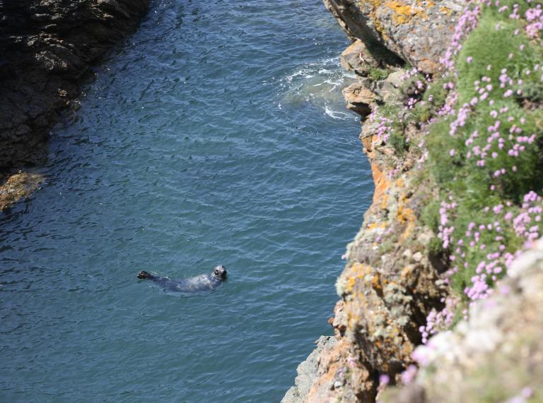 Sea lion enjoying the waters surrounding Bardsey Island, Gwynedd