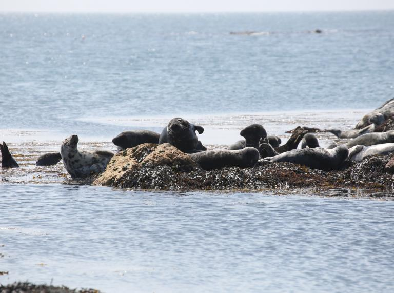 Seals on Bardsey Island, North Wales