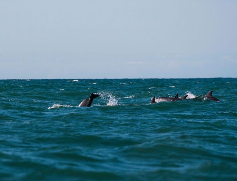 Dolphins making a splash in Cardigan Bay.